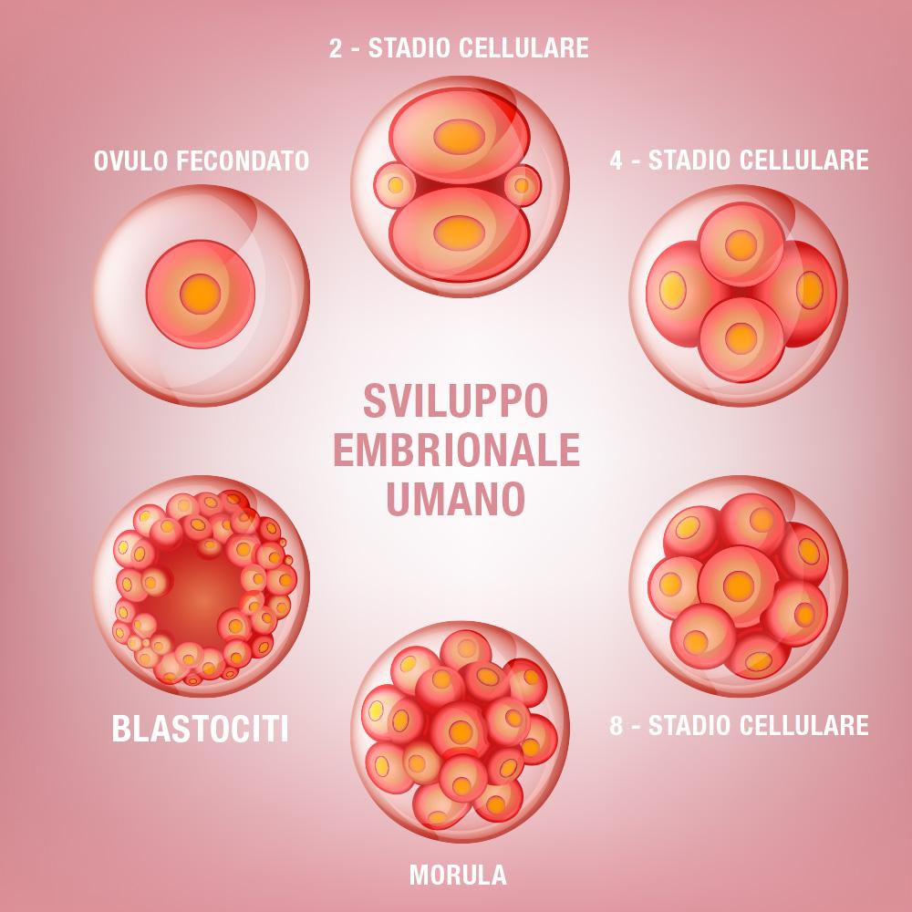 Sviluppo Embrionale Umano - Centro PMA Palmer
